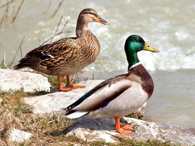 Летят утки: на юге области охоту на диких...